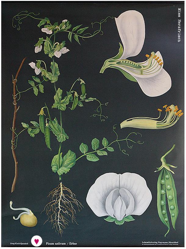 Miss Herzfrischs Alltagsheldin Schulplakat die Erbse - Pisum sativum
