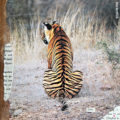 Miss Herzfrischs Collagen 15fuenfzehn Tigerliebe