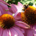 Miss Herzfrischs Glück der kleinen Dinge_Echinacea im Botanischen Garten Wuppertal