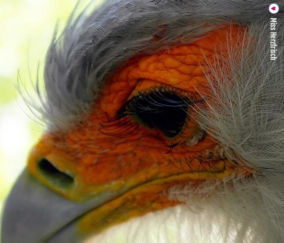 missherzfrischs macro schoenheit - Sagittarius serpentarius * Sekretärvogel